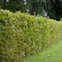 Fagus sylvatica Plants - 20 x 2 Litre Pots