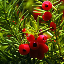 Taxus baccata Potted Plants