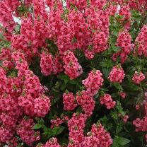 Diascia Plant - Aurora Dark Pink