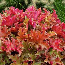 Heuchera Plant - Generic Marmalade