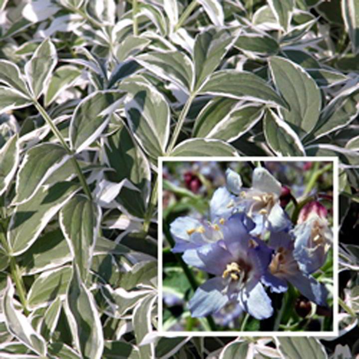 Polemonium Plant - Touch of Class