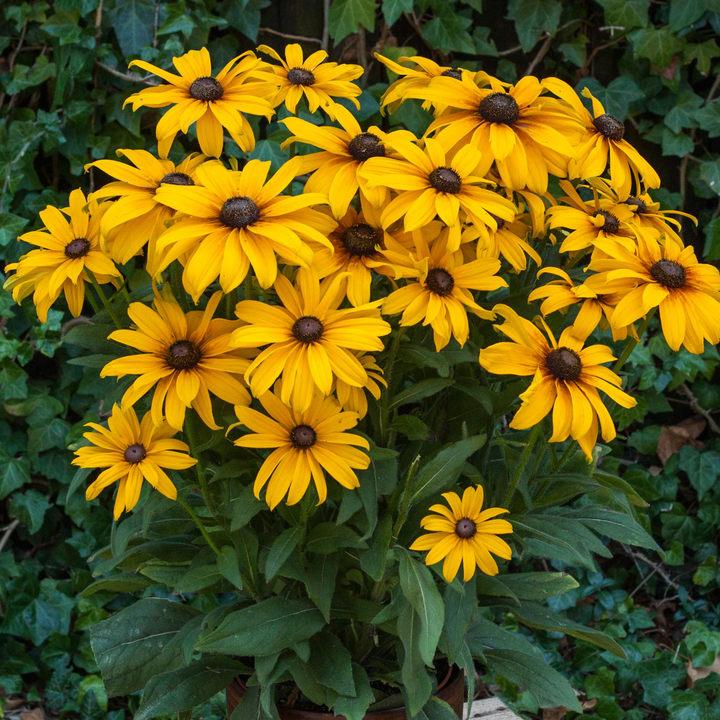 Rudbeckia Plant - Sunbeckia Emelia