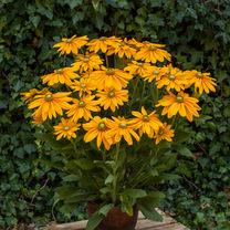 Rudbeckia Plant - Sunbeckia Olivia