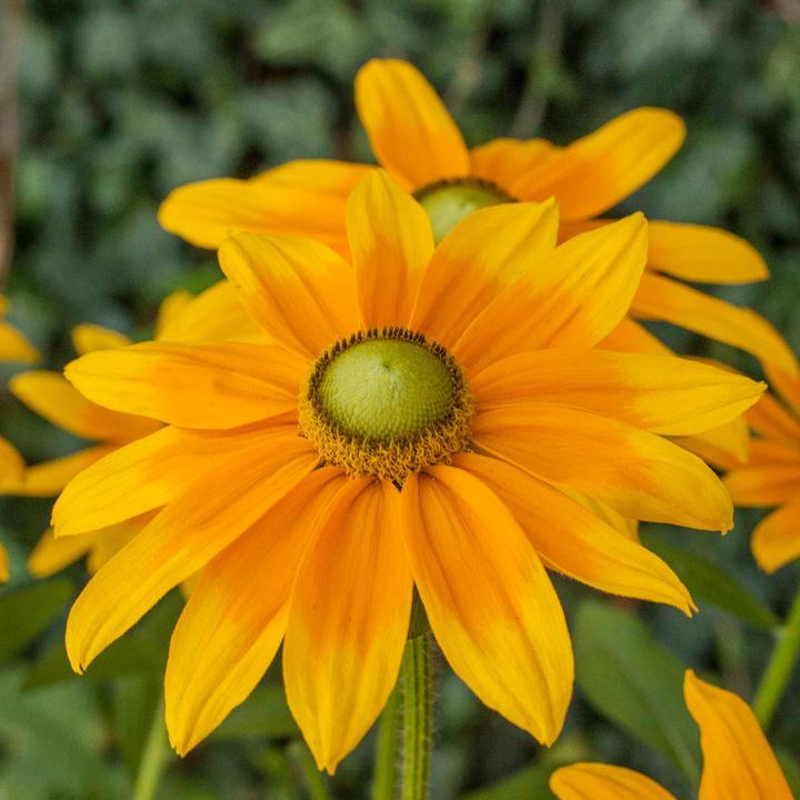 Rudbeckia Plant - Sunbeckia Sophia Yellow