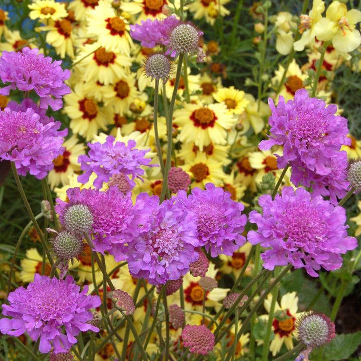 Scabiosa Plant - Generic Vivid Violet