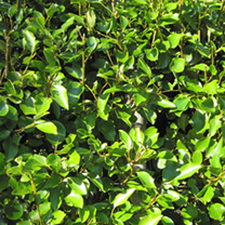 Griselinia Potted Plants - 20cm+ x 10