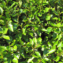 Griselinia Potted Plants - 60cm+ x 10