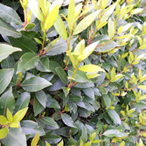 Laurus nobilis Potted Plants - 20cm+ x 20