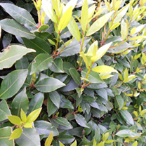 Laurus nobilis Potted Plants - 60cm+ x 20