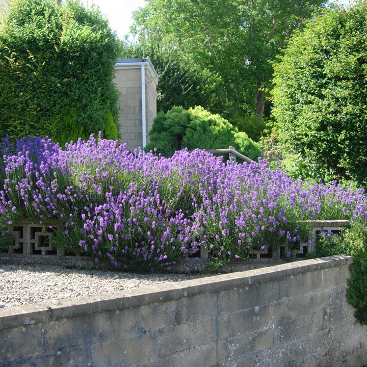 Lavandula angustifolia Munstead Potted Plants