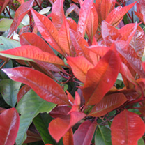 Photinia x fraseri Red Robin Potted Plants - 20cm+ x 10