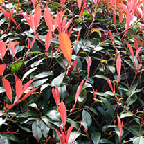 Photinia x fraseri Red Robin Potted Plans
