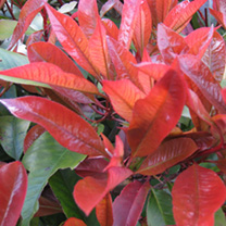 Photinia x fraseri Red Robin Potted Plants - 100cm+ x 10