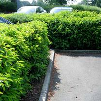 Prunus lusitanica Potted Plants - 100cm+ x 10