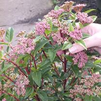 Viburnum tinus Potted Plants - 20cm+ x 20
