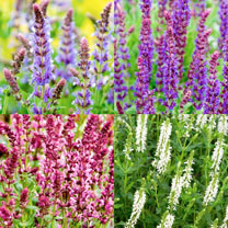Salvia Plants - Ballet Series Mix