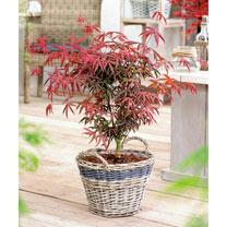 Acer palmatum Plant - Starfish
