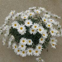 Marguerite Plant - Elsa White