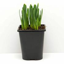 Daffodil Bulbs - Tete-a-Tete