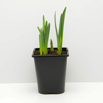 Narcissus Bulbs -  Cornish Dwarf Mix
