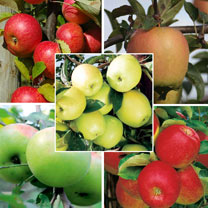 Apple Tree Collection