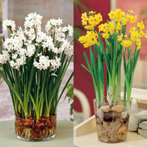 Twin Pack contains 20 bulbs (10 of each variety) ideal for indoors:papyraceus Paper-white Plant bulbs in mid-October and the pretty congregations of s