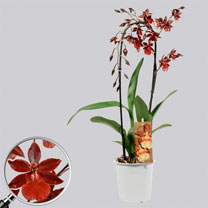 Orchid Cambria Bobcat Cascade Plant
