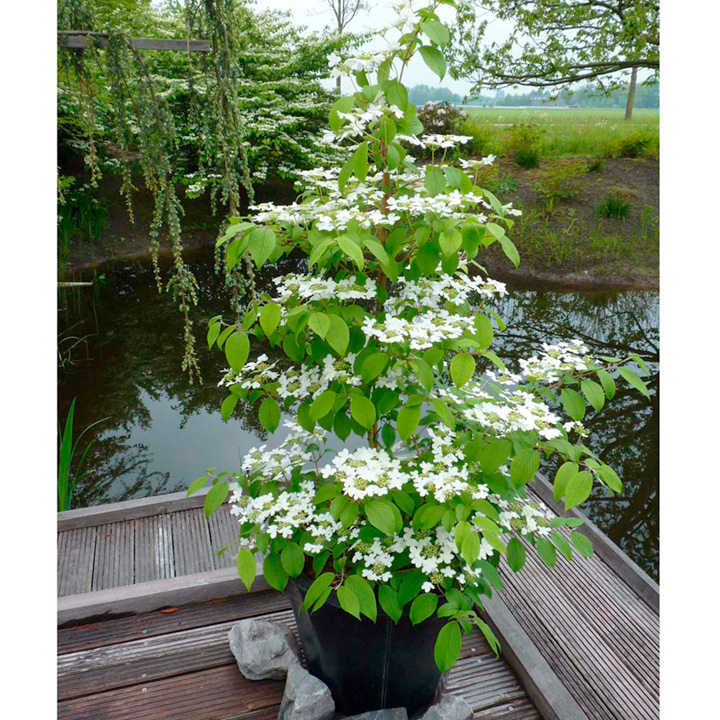 Viburnum Plant - Kilimanjaro