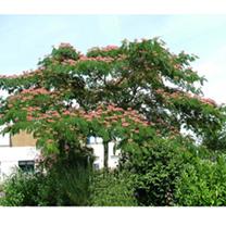 Albizia julibr. Plant Ombrella