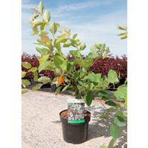 Amelanchier lamarchkii Plant