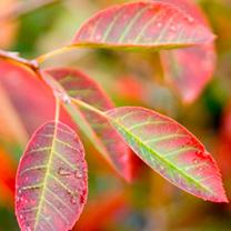 Amelanchier lamarckii Plant