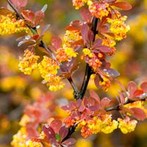 Berberis ottawensis Plant - Superba