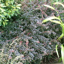 Berberis thunb. Plant - Dart's Red Lady
