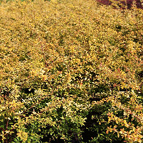Berberis thungergii Plant - Golden Dream