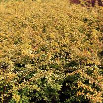 Berberis thunbergii Plant - Golden Dream