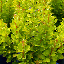 Berberis thunbergii Plant - Golden Rocket