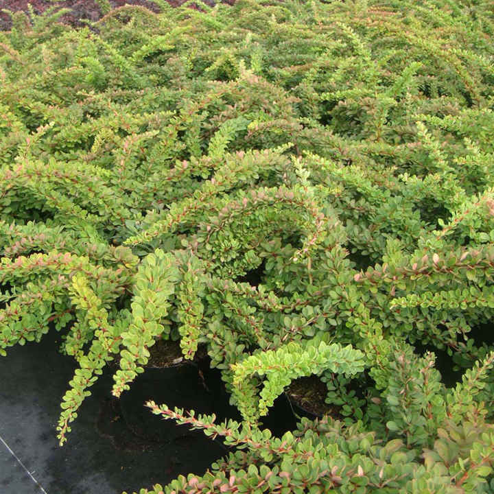 Berberis thunbergii Plant - Green Carpet