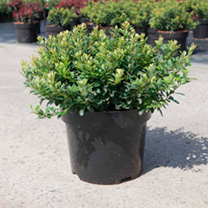 Berberis thunb. Plant - Kobold