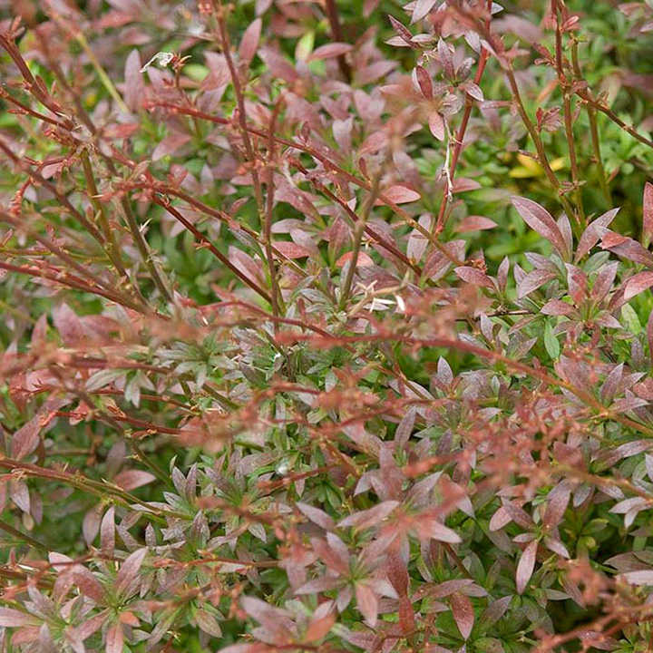 Berberis thunbergii Plant - Red Dream®