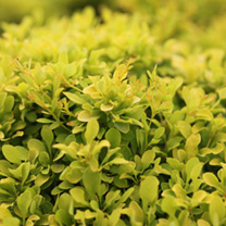Berberis thunbergii Plant - Tiny Gold®
