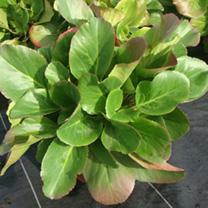 Bergenia cordifolia Plant