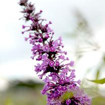 Buddleia Argus Plant - Velvet