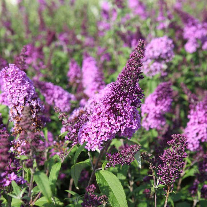 Buddleja davidii Plant - Lilac Chip®
