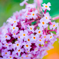 Buddleia davidii Plant - Camberwell Beauty