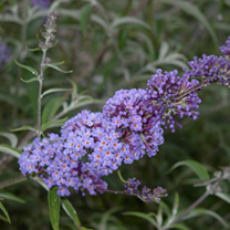 Buddleia davidii Plant - Nanho Blue