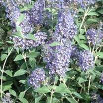 Buddleia Plant - Lochinch