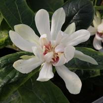 Calycanthus Plant - Venus