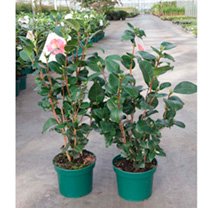 Camellia japonica 'Souvenir de Hubert Thoby is a vigorous shrub with dark, glossy, green foliage and large flowers like that of peonies in bright red.