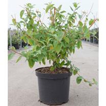 Ceanothus delilianus Plant - Gloire de Versailles