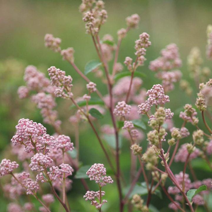 Ceanothus pallidus Plant - Marie Rose Noble